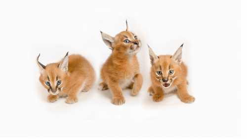 у кошки горячий нос: диагностика проблемы и первая медицинская помощь